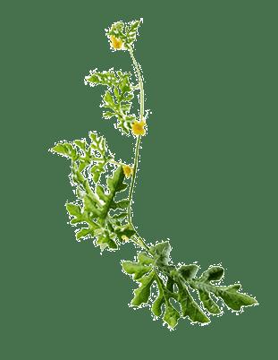 Watermelon Leaves - Melon 1