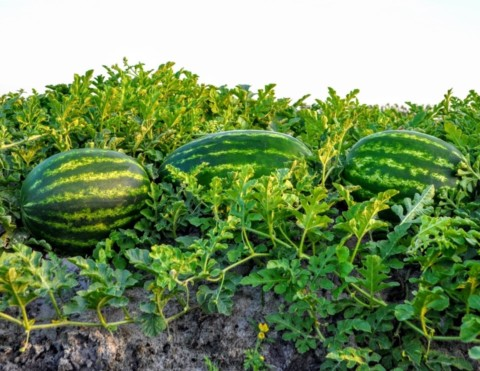 Melons sitting next to each other on the farm
