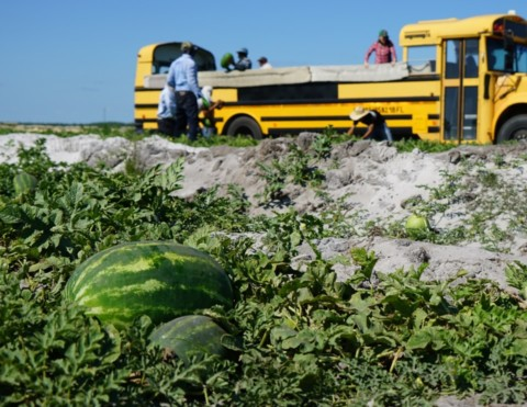 Loading Melons into Truck