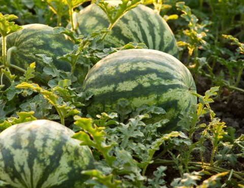 Watermelons sitting on the ground in the field